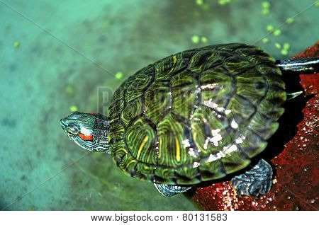 Turtle Indonesia