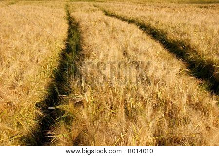 Barley field with tractor lane