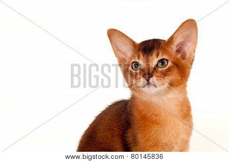 Abyssinian Kitten Portrait On White