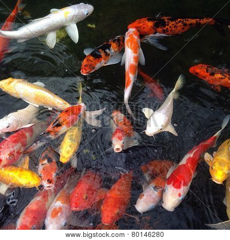 Japanese Koi Carps Fish (cyprinus Carpio)