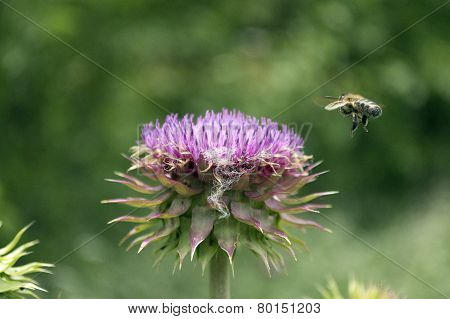Closeup Of A Honeybee Flying In To Pollenate A Purple Thistle Flower