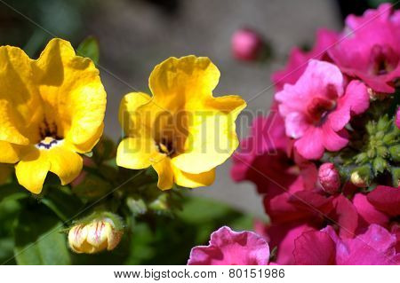 Yelow And Pink Nemesia Flowers In A Blue Flowerpot Close Up