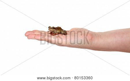 Little Frog On A Female Palm Isolated