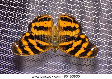 Common Pasha Butterfly