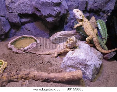 Beautiful Brown Lizard Family