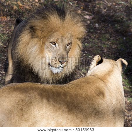 Lion Confrontation