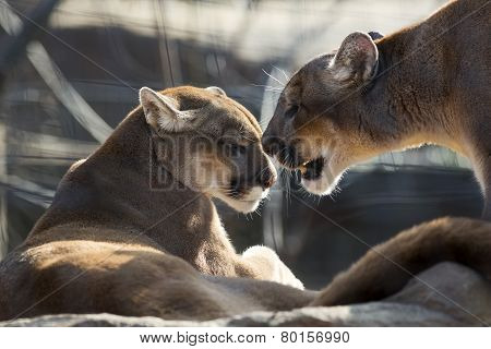 cougar couple