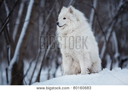Dog Sitting On The Snow And Looking Ahead