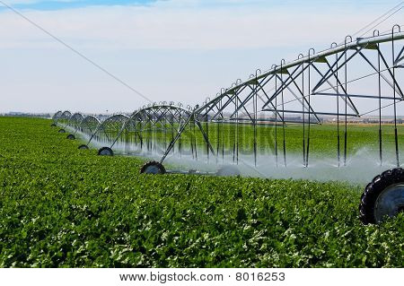 Irrigated Turnip Field