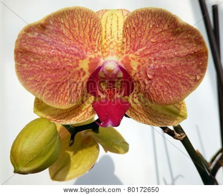 Orange orchid closeup