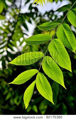 Walnut Leaves In Spring
