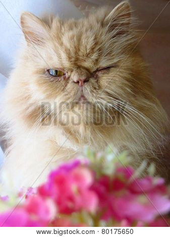 Portrait of the Persian cat adult fawn