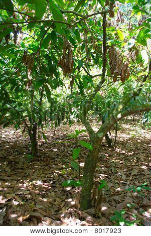 cocoa tree with plague