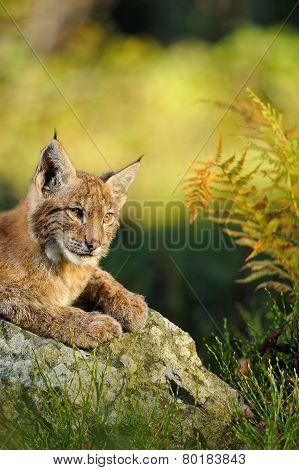 Eurasian Lynx In Forest