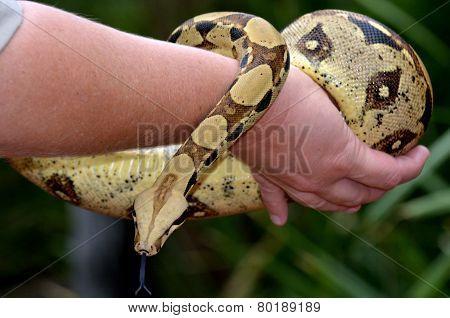 Australian Coastal Carpet Python