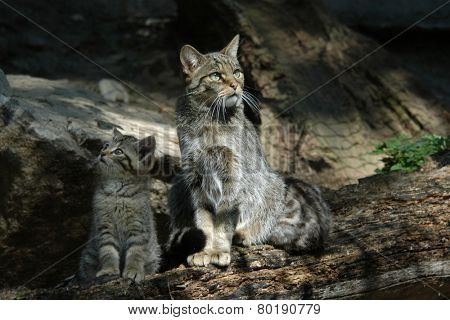 European wildcat (Felis silvestris silvestris) with a kitten.