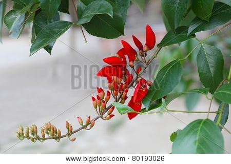 Cockspur Coral Flower Branch