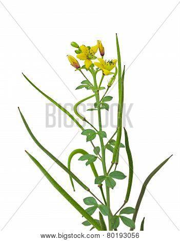 Yellow Spider Flower