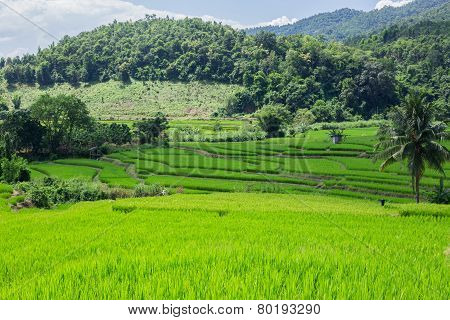 hills and green rice field
