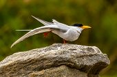 picture of tern  - Mischievous river tern on one leg - JPG