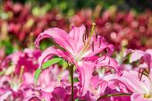 stock photo of easter lily  - Lilium longiflorum  - JPG