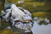 stock photo of alligator  - Alligator family  - JPG