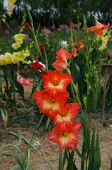 stock photo of gladiolus  - red single gladiolus flower in the garden - JPG