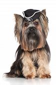 picture of pirate hat  - Yorkshire Terrier in carnival pirate hat on white background - JPG