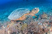 stock photo of hawksbill turtle  - Hawksbill Turtle creates a cloud of silt as it feeds on a tropical coral reef - JPG