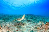 image of green turtle  - Green Turtle swimming over a tropical coral reef - JPG