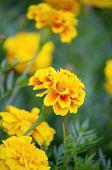 stock photo of marigold  - beautiful yellow marigold flower in the garden - JPG
