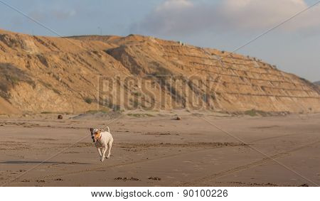 Jack Russell Terrier Running With Speed After A Car On The Beach