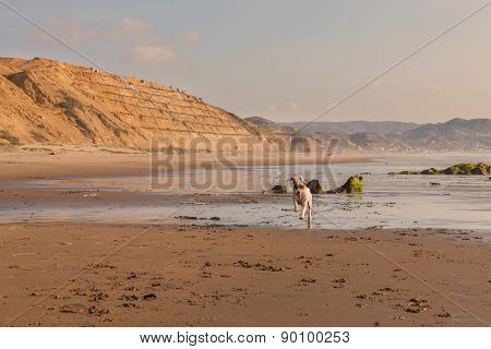 Jack Russell Terrier Running At Full Speed On The Beach Of Pacific Ocean, South America