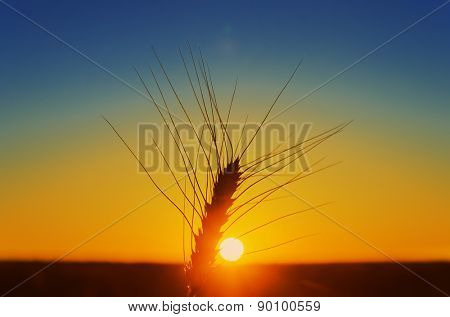 sunset over field and ripe harvest