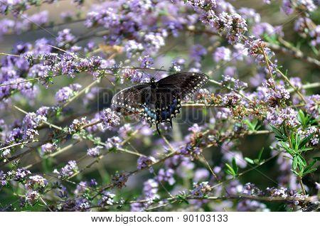 Black Swallowtail Butterfly on Lavender Butterfly Bush