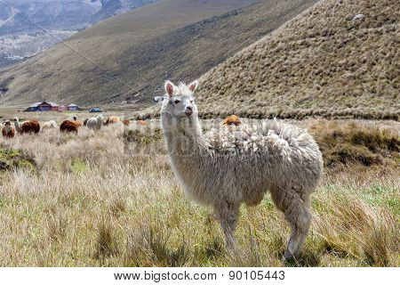 Portrait Of A Llama In Chimborazo National Park, South America