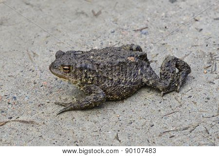 Ugly toad