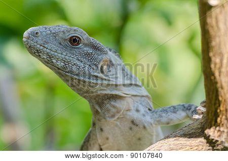 Ctenosaura pectinata