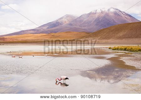 Flamingo eating in a lagoon - Bolivia