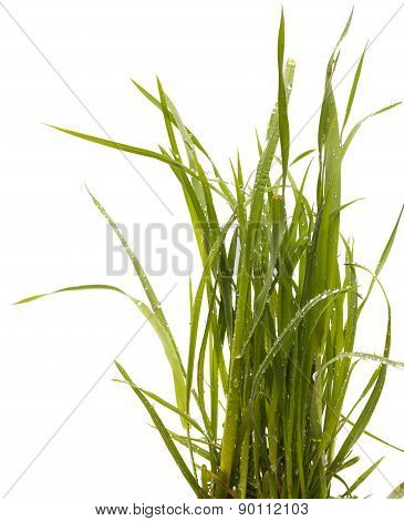Green grass isolated white background. Sedge.