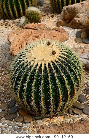 Golden Barrel Cactus In A Cactus Garden