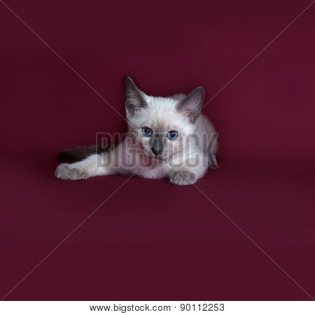 Thai White Kitten Lies On Burgundy
