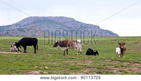 Longhorn Cows.