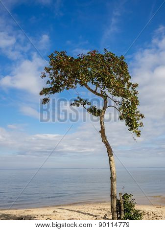 Tall Holly Tree on Beach