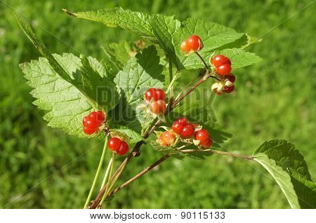 Bouquet of Wild Forest Stoneberries On Green Light Background