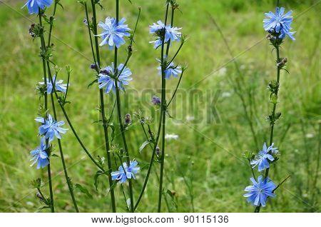 Blue Chicory flower (Cichorium intybus)