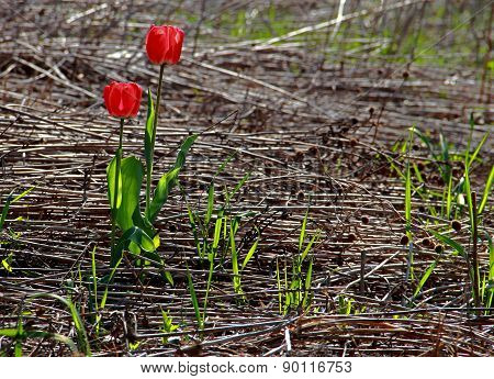 Red Tulips In Wildness
