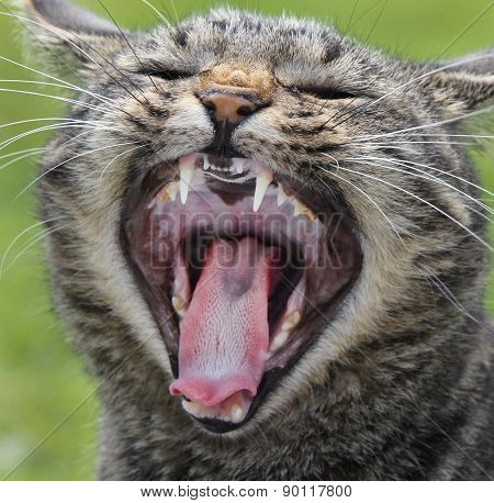 Domestic Cat Roar