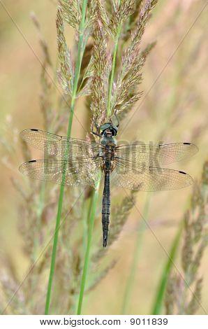 Downy Emerald (cordulia Aenea) Dragonfly