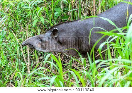 Tapir In Ecuadorian Amazonia